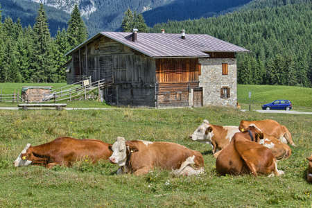 Grazing cows on Dolomites meadow - Italy  photo