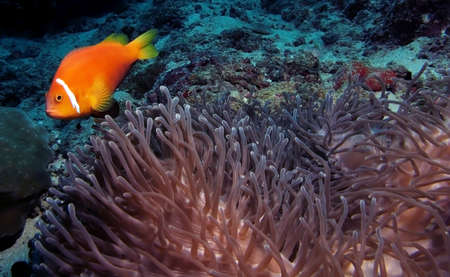 Egypt, Sep 12: Clown Fish around anemone. Stock Photo - 18305294
