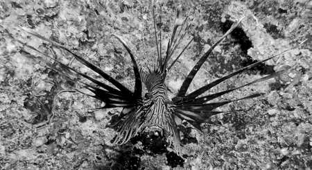 Black Lion fish. photo