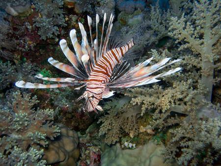 Il Lionfish in Mar Rosso. Archivio Fotografico - 34611221