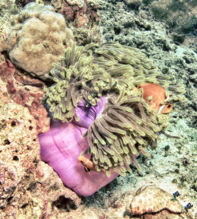 peces payaso: El pez payaso en la an�mona.