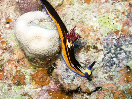 Nembrotha in Red Sea. photo