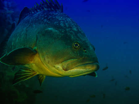 dusky: Beautiful view of big grouper. Stock Photo