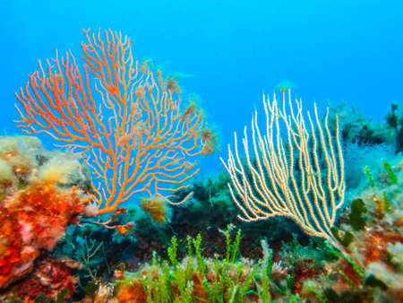 gorgonian sea fan: Beautiful gorgonians. Stock Photo