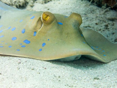 spotted ray: Blue spotted stingray.