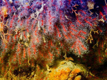 gorgonian sea fan: Coral in Mediterranean sea.