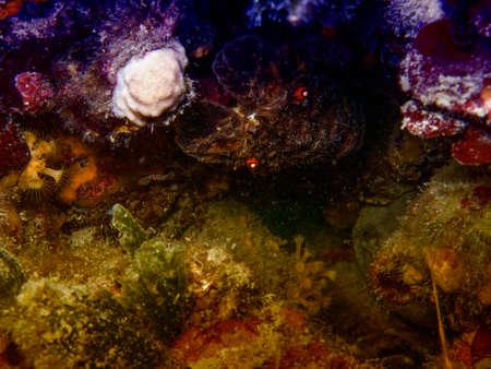crustacean: Crustacean in mediterranean sea underwater.
