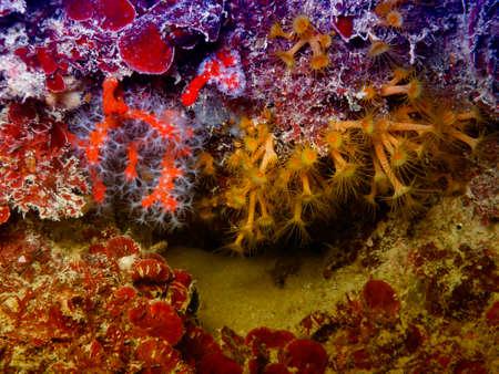 gorgonian sea fan: Coral in Mediterranean sea.