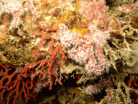 gorgonian sea fan: Mediterranean coral reef. Stock Photo