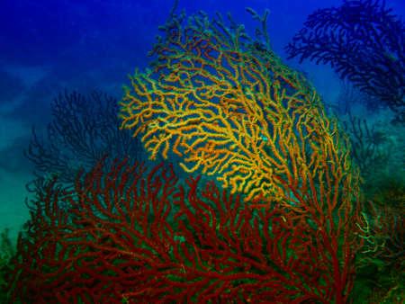 gorgonian sea fan: Beautiful gorgonians. Stock Photo