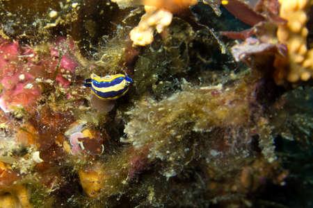 sea slug: Nudibranch mediterranean.