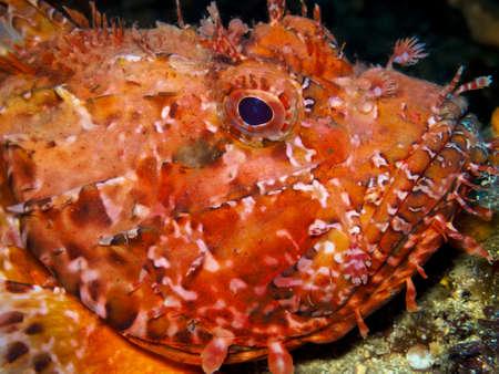 scorpionfish: Bad fish.