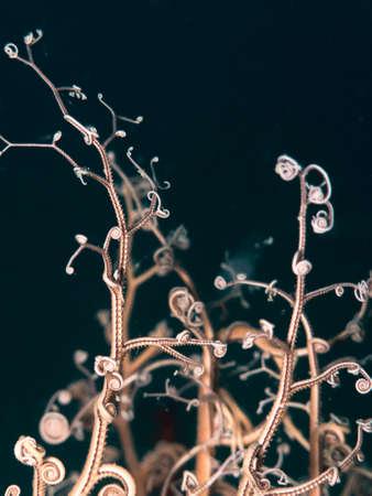 Astrospartus - gorgonian star.