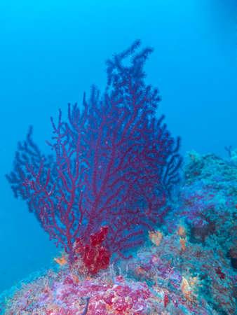 gorgonian sea fan: Sea fans, - 55mt.
