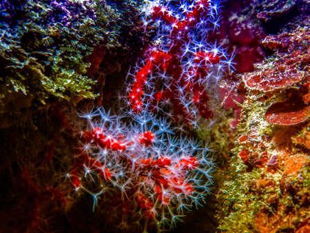 gorgonian sea fan: Red coral in mediterranean sea. Stock Photo