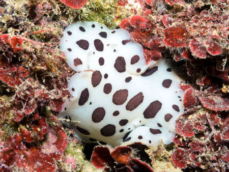 Nudibranch mediterranean.