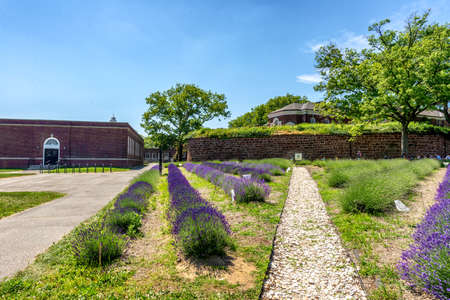 Lavender Flowers in Governor's Island, New York.