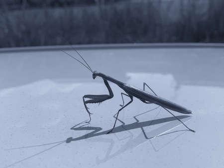 Religious mantis, waiting for ...... 写真素材