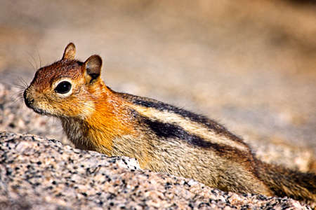 Ready To Run - A beautiful chipmunk on a rock wall, looking up at me.