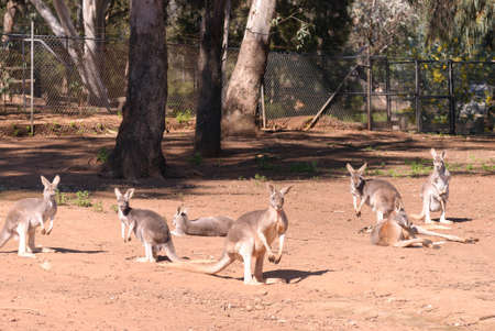 yard stick: a small mob of kangaroos in a zoo enclosure with trees and fence in background