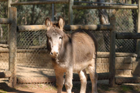 enclosure: a young donkey standing still in a zoo enclosure with fences behind