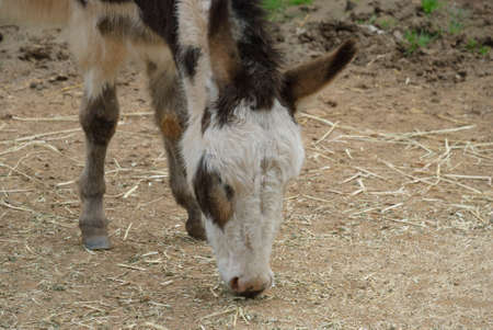 chaff: head shot of a donkey eating chaff off the ground Stock Photo