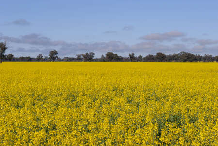 a maturing canola crop flowering in a rural paddock with clouds in sky