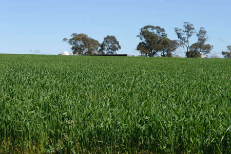 cereal crop growing on sloping rural property with trees and a blue sky Stock Photo