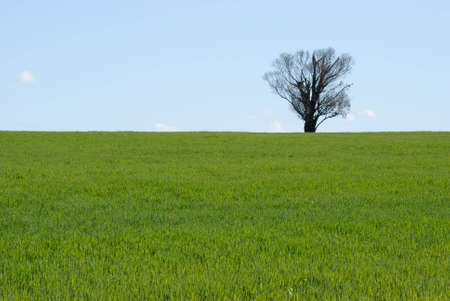 healthy young cereal crop on undulating ground with tree on horizon with blue sky