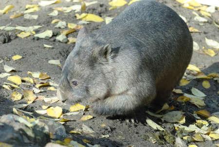 un primer plano de un wombat en un recinto en el zoológico Foto de archivo