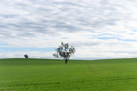 a cereal crop growing on undulating rural paddock with a tree and cloudy sky