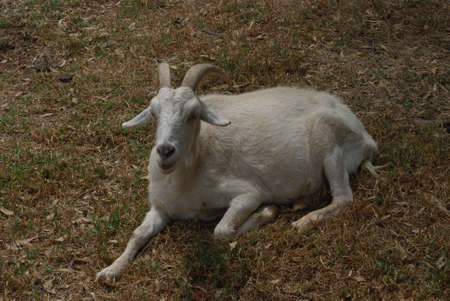 a male goat laying on the grass in the sun