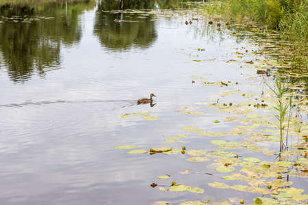 Pond with still water and duck on water surface