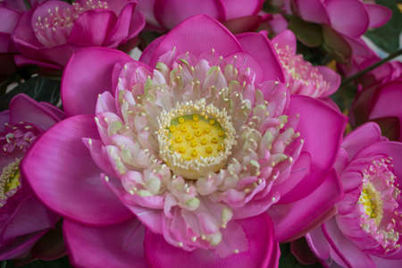 Lotus pink is beautiful