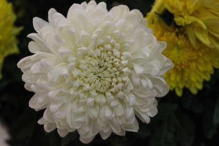 Crisantemo bianco e crisantemi gialli in background