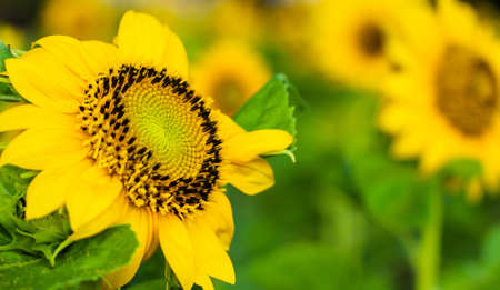 Beautiful yellow sunflower blooming in the park