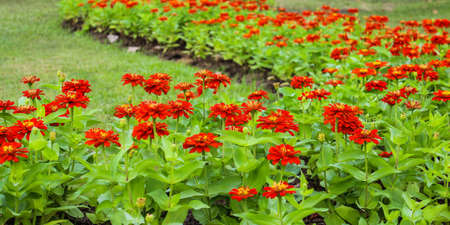 Orange zinnia bloom beautifully in the garden