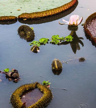 Gigli fioriscono nei canali d'acqua e giovani