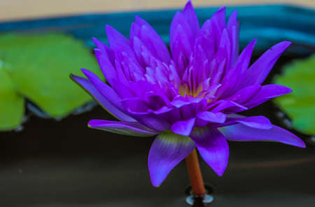 Purple lotus in full bloom on the waterfront