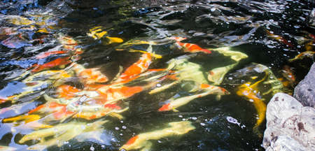 Beautiful colorful fish in the fish pond