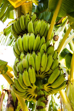 A green banana and banana trees in the garden  Stock Photo
