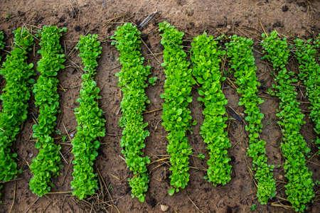 Una variet� di ortaggi coltivati ??in azienda Archivio Fotografico