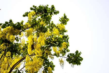 Ratchaphruek flowers bloom a beautiful yellow color  Stock Photo