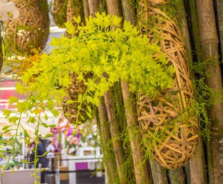 BANGKOK, THAILANDIA-JUNE6: orchidee verdi appese alle spezie degli alberi in caso di 7 � Siam Paragon Bangkok Royal Orchid Paradise il 6 Giugno 2013 a Bangkok in Thailandia. Editoriali