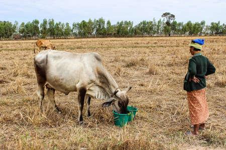 SURIN THAILANDIA-7 gennaio donna non identificata stava pulendo la mucca e la mucca mangi e serbatoi d'acqua verde nel campo Mucca come un animale domestico lei su 7 gennaio 2013 a Surin, Thailandia