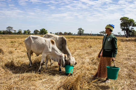 SURIN THAILAND-JANUARY 7  Unidentified woman in a cow eat green food and water tanks in the field  Cow as a pet her on January 7, 2013 in Surin, Thailand