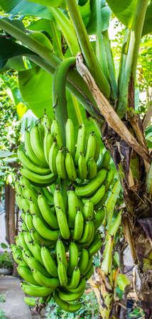 Un grappolo di banane verdi � bello
