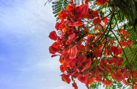 feathery: Flame Tree Flower or Peacock Flower with blue sky