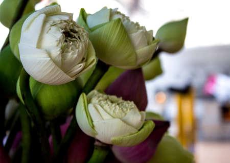 Gemma di loto bianco per il rispetto di Buddha nel tempio Archivio Fotografico