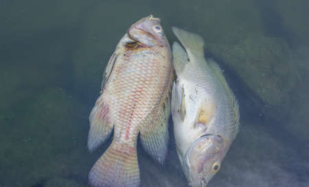 dead fish in polluted pond, ecological disaster photo